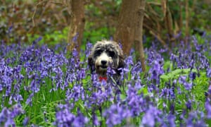 Walking the dog amid a carpet of bluebells could be your perfect spring day, here in Nene Park, Cambridgeshire.