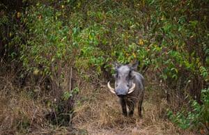 A warthog walks through the bushes in Kenya's Maasai Mara