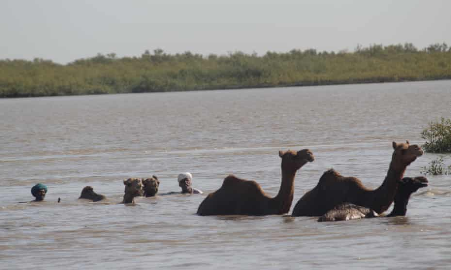 Herders and their kharai camels Gulf of Kutch