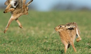 Brown hares (Lepus europaeus) boxing near Holt, Norfolk, England. UK