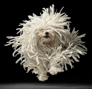 This Hungarian puli, snapped mid-leap, has a wild, mop-like coat. The puli was originally a herding dog, used by the nomads of the Hungarian plains to round up livestock. Its curious corded fur is extremely thick and almost entirely waterproof