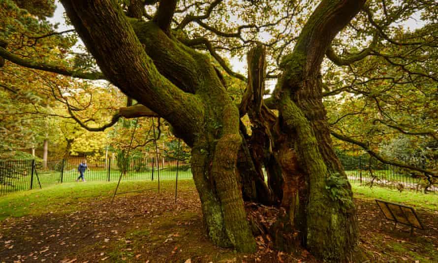 Allerton Oak