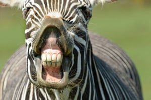 A Grevy's zebra smiles at ZSL Whipsnade Zoo