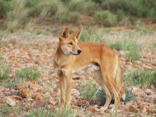 A dingo on Evelyn Downs. Photograph: Arian Wallach