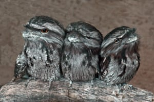 A trio of tawny frogmouths.