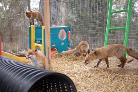 The fox enclosure at Sydney Fox Sanctuary, plus four foxes