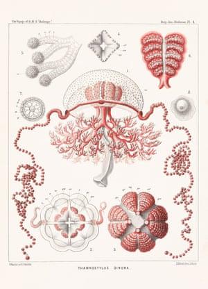 Monograph on the Medusae, vol. 2, 1881, plate 1