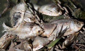 The fish kill on the  Lower Darling