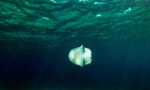 A jellyfish swims off the coast of Protaras on the south east coast of Cyprus