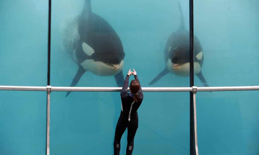 An employee trains orcas at Marineland on the Côte d'Azur
