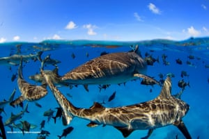 Sharks and large marine predators have experienced significant decline, but evidence shows their stocks can be rebuilt with the appropriate protection measures, according to a major new scientific review.