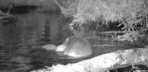 A baby beaver with its mother at the National Trust's Holnicote estate in Somerset. The kit was seen swimming on the estate in Exmoor where beavers were introduced in January 2020 for the first time in the trust's 125-year history. The baby beaver was named after footballer Marcus Rashford our the National Trust honoured the results of a poll to name the beaver