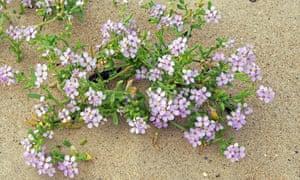 Lilac sea rocket flowers