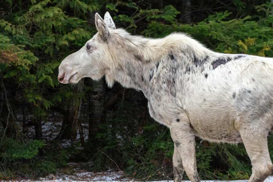 A white moose in Ontario. The moose are not albino, but get their colour from a recessive gene.