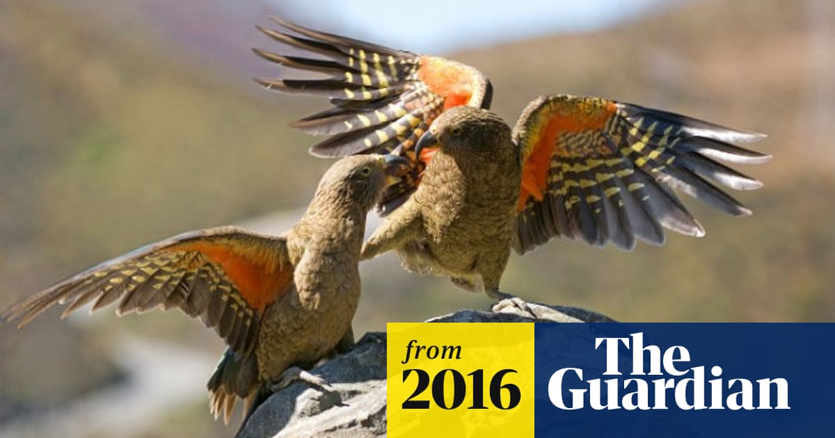 New Zealand kea, the world's only alpine parrot, faces