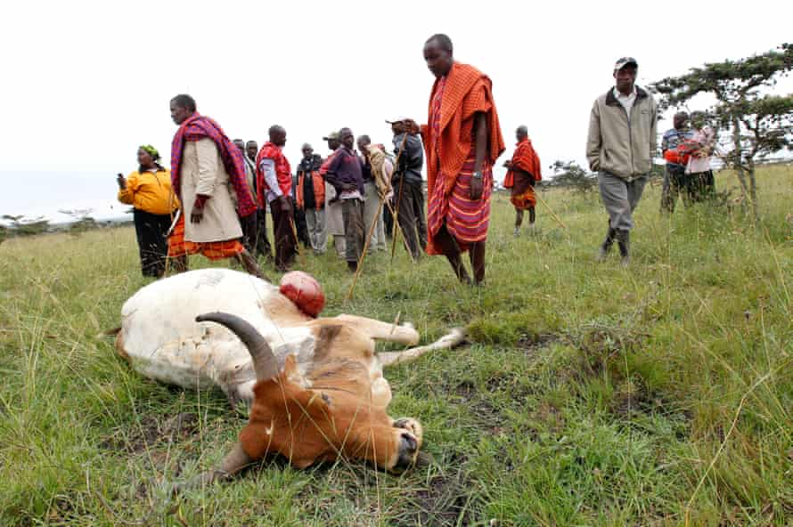 Maasai tribesmen look at a cow killed during an elephant attack on the outskirts of Nairobi.