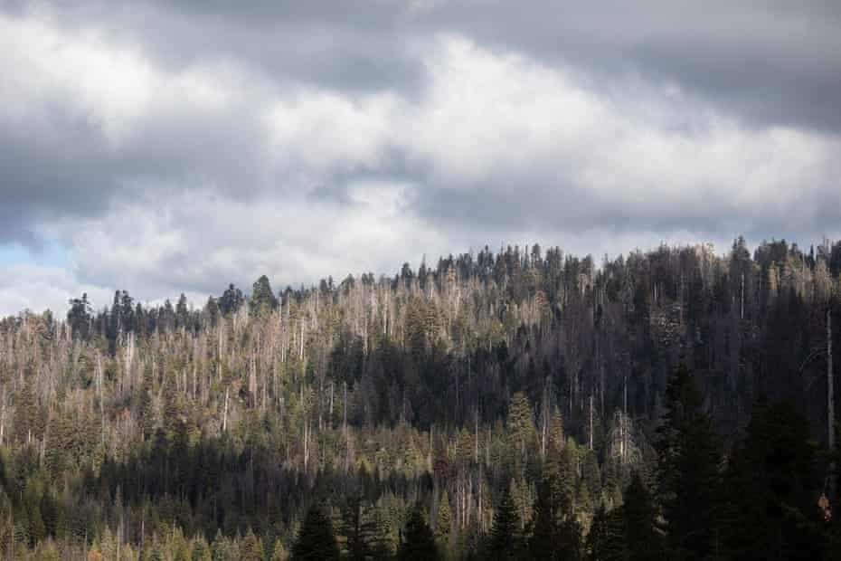 Giant Forest, situated within Sequoia national park, is a mix of white fir, incense cedar, sugar pine, ponderosa pine and giant sequoia trees. The grey trees here are dead; in areas of the national park tree mortality for some species is 70%.