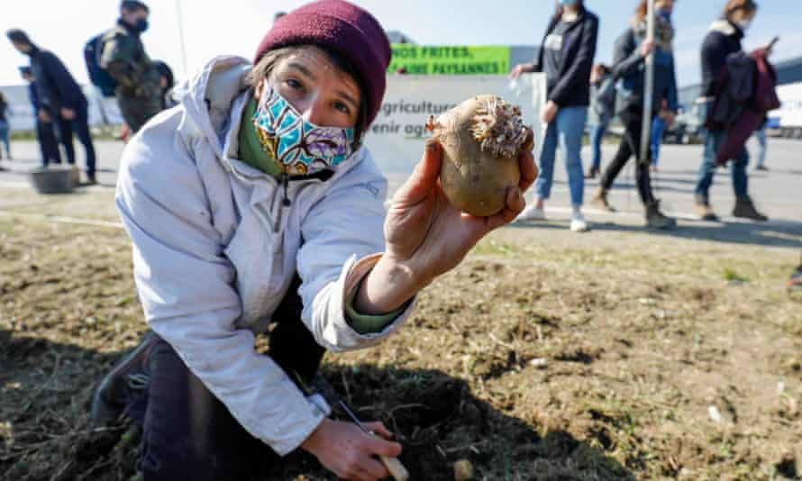A protester plants a wild variety of peasant potatoes during a protest against the Clarebout mega-factory project in Frameries, Belgium.