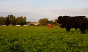 Cattle grazing at dusk on Long Mead's ancient floodplain hay meadow. Grazing with cattle after the hay cut is critical to maintaining the biodiversity of the meadow