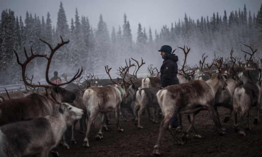 A Sami woman watches over a reindeer herd near the village of Dikanaess, in Sweden.