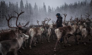A Sami woman observes reindeer selection and calf labelling near the village of Dikanäss, about 800km north-west of Stockholm.