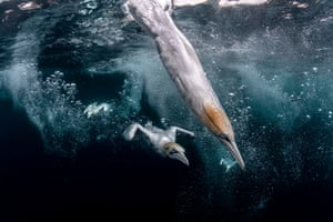 Diving gannets hit the water off the Isle of Noss, Shetland, UK.