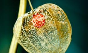 The ground cherry Physalis pruinosa.