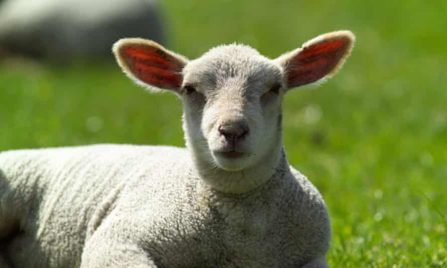 Lamb (farm animal)