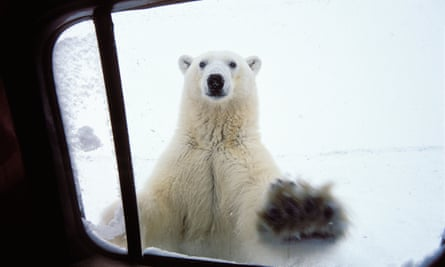 A polar bear at a car window in Churchill, Canada.