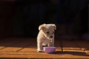 puppy drinking milk