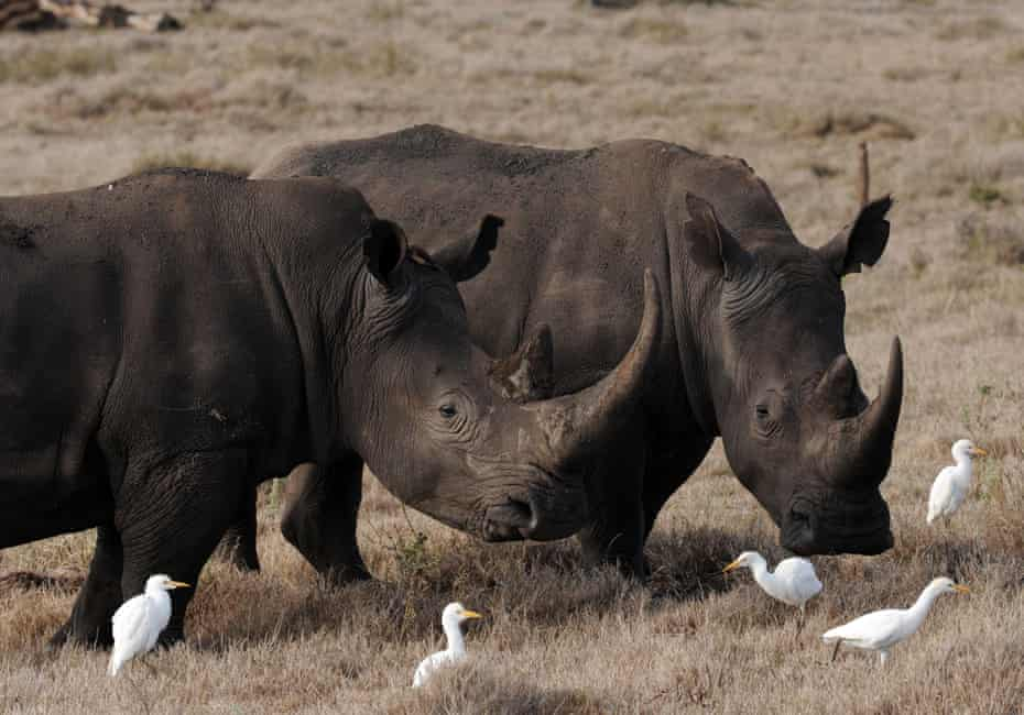 Two male rhinos in the Lewa Wildlife Conservancy. Lewa is home to more than 10% of Kenya''s black rhino population.