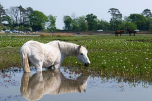 A pony in Hatchet Pond, New Forest, Hampshire