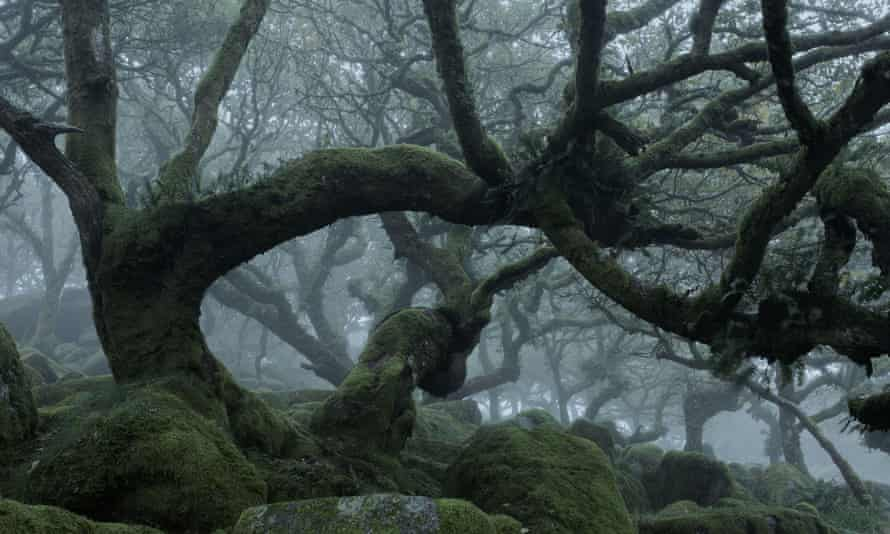 Wistman's Wood, Dartmoor National Park, where many oaks are more than 500 years old.