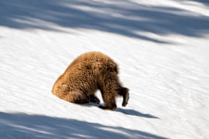 Looks like this grizzly bear got its head stuck