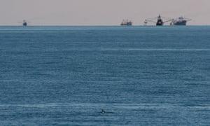 A vaquita swims in the sea.