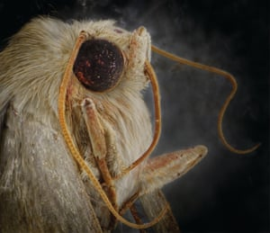 An owlet moth - the nocturnal insects can detect the sonar call of bats to avoid being eaten