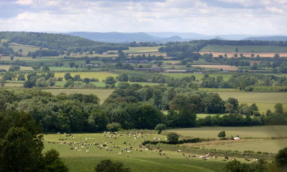 A herd of cows in Herefordshire farmland