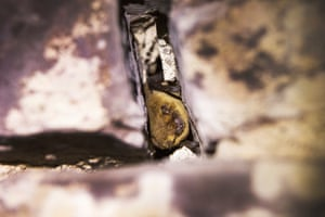 A pipistrelle bat in a crevice