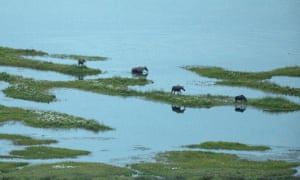 Moose families feed on aquatic plants in small lakes at the headwaters of the Peel Watershe