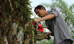 Rudi Putra takes his chainsaw to an illegally planted oil palm tree in the Leuser ecosystem.
