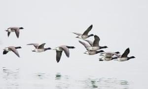 White-bellied Brent Geese in flight