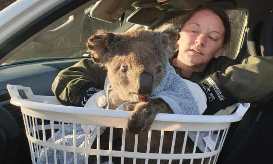 Humane Society International's disaster relief team visit the Kangaroo Island Wildlife Park which is caring for koalas and other stricken wildlife