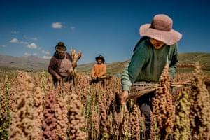 Farmers harvesting quinoa in Puno