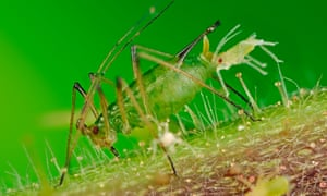 A greenfly aphid gives birth to live young
