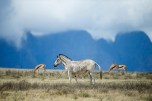 Rau quagga walk on Elandsfontein farm, in the Riebeeck Valley, on February 3, 2016, near Wellington, about 90 km from Cape Town. In a spectacular valley, a small herd of animals provides the chance to travel back in time over more than a century. The animals roaming over a wide plain encased by jagged mountain ranges look like quaggas, a subspecies of the plains zebra -- but quaggas are extinct. A small group of scientists and conservationists believe they have recreated the quagga, which is distinct from other zebra mainly through the lack of the characteristic black and white stripes on its hindquarters.