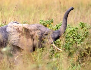 The reclusive African forest elephant among the tall grass of the savannah.