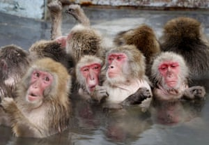 Hakodate, Japan Macaques soak in a hot spring in a tropical botanical garden on the country's northernmost main island of Hokkaido