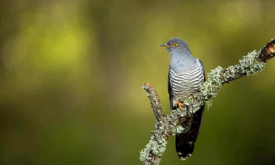 An adult male cuckoo, perched on a lichen covered branch, at Thursley National Nature Reserve, Surrey.