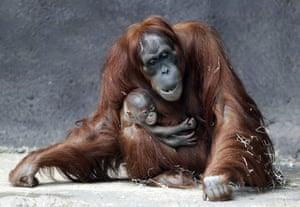 Prague, Czech RepublicKawi, a newly born baby of critically endangered Sumatran orangutan, holds on to his mother Mawar at their enclosure at the zoo