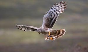 A hen harrier in Scotland.